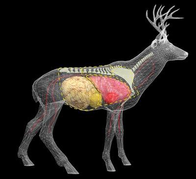deer_organs